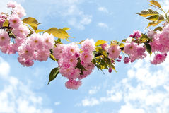 Curve branch of sakura Royalty Free Stock Photos