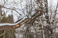 Curve branch on a tree near Belokurikha, Altai, Russia stock image