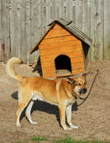 Curve doghouse. Big dog at the his curve doghouse Stock Photos