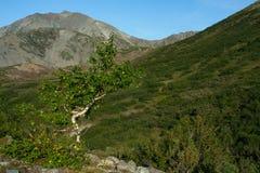 Curve el abedul en las montañas en las cuestas Foto de archivo