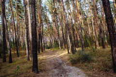 Curve el camino en bosque profundo del pino del otoño del bosque Foto de archivo