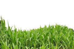 Curve grass and white isolate background Royalty Free Stock Images