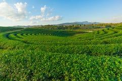 Curve of green tea field Stock Image