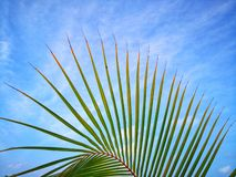 Curve line of coconut leaves on blue sky. With scattered white cloud stock photo