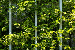 Curve lines of plants and vines and iron fence. Curve lines of plants and vines with its leaves and grey iron fence Royalty Free Stock Photography
