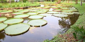 Curve long pond of victoria lotus Royalty Free Stock Photography
