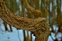Curve in the Road. Photograph of a tree with a bend in it.     The closeup shows the grain of the bark.   Other trees are blurred in the background Royalty Free Stock Images