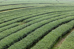 Curve row tea tree large field. In Chiang Rai city northern Thailand Stock Photography