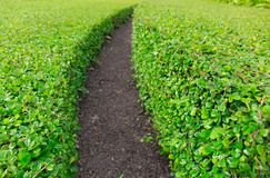 Curve Rows of Green Grass with a Dirt Path in the Middle of Gard stock photo