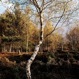 Silver birch tree/Betula Pendula glowing in the afternoon light Skipwith Common East Yorkshire England Royalty Free Stock Photo