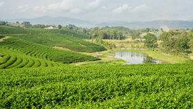 Curve of tea Plantations Royalty Free Stock Image