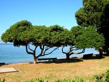 Curve trees. On the seashore Stock Photo