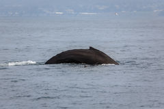 Curved back of humpback whale Megaptera novaeangliae surfacing Royalty Free Stock Images