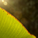 Curved banana leaf with sun flare Stock Image