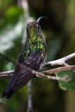 Curved beak hummingbird Stock Images