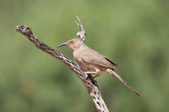 Curved-bill Thrasher on cactus Stock Image