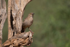 Curved-bill Thrasher on cactus Royalty Free Stock Photos