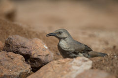 Curved-bill Thrasher in desert rocks Stock Photography