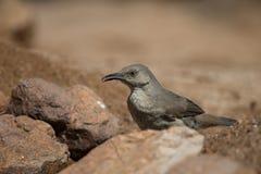 Curved-bill Thrasher in desert rocks Stock Photography