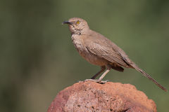 Curved-bill Thrasher. On rock Stock Photo