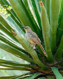 Curved-Billed Thrasher female sitting in succuent plant Royalty Free Stock Photography