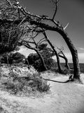 Curved black and white trees Royalty Free Stock Photography