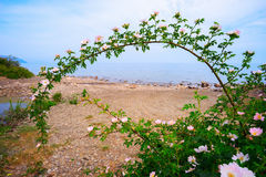 Curved branch of blossoming rose on the beach. Royalty Free Stock Photo
