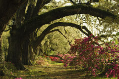 Free Curved Branches Of Old Live Oak Trees Covered With Moss And Azalea Bushes. Royalty Free Stock Images - 91630639