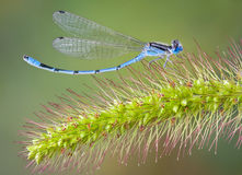 Curved damselfly on foxtail Royalty Free Stock Photos