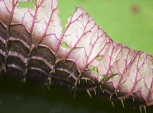 Curved edge of a leaf Victoria amazonica, Victoria regia Stock Photos