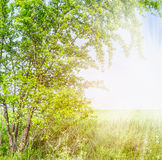 Curved Hawthorn tree branches in summer sunlight Royalty Free Stock Photos