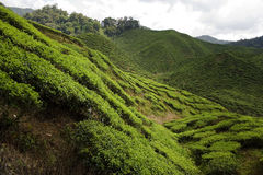 Curved hills of tea plantations Stock Images