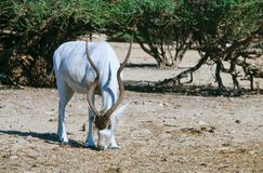 Curved horned antelope Addax Addax nasomaculatus Stock Images