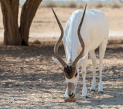 Curved horned antelope Addax (Addax nasomaculatus) Stock Photo