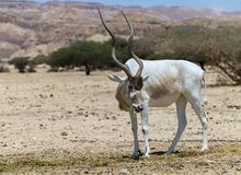 Free Curved Horned Antelope Addax Addax Nasomaculatus  Is A Wild Native Species Of The Sahara Desert. Stock Images - 116659994