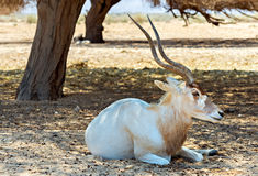 Curved horned antelope Addax (Addax nasomaculatus) in nature reserve near Eilat, Israel Stock Photography