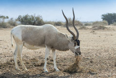 The curved horned antelope Addax Royalty Free Stock Photography