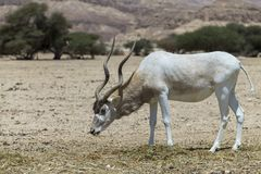 Curved horned antelope Addax Addax nasomaculatus  is a wild native species of the Sahara desert. Nowadays antelope Addax inhabits nature reserve near Eilat Royalty Free Stock Photo