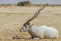 Curved horned antelope Addax (Addax nasomaculatus) Stock Photos