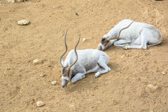 The curved horned antelopes Addax (Addax nasomaculatus)  laying Royalty Free Stock Image