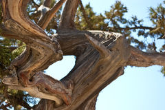 Curved mediterranean pine Stock Images