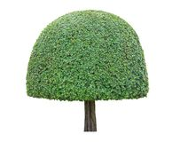 Symmetric curved mushroom half dome shape trim topiary tree isolated on white background for formal Japanese and English style art royalty free stock image