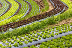 Curved organic vegetable field Royalty Free Stock Image