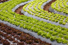Curved organic vegetable field Stock Photography