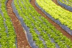 Curved organic vegetable field Stock Images