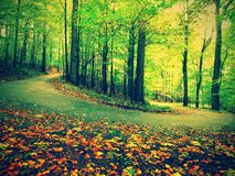 Curved path bellow beech trees. Spring afternoon in forest after rainy day.  Wet asphalt with smashing orange leaves. Royalty Free Stock Image