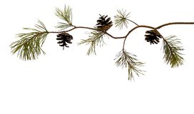 Curved pine branch with pinecone, isolated on white. For Christmas cards. Ready for your own decorations royalty free stock image