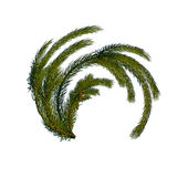 Curved pine branch Royalty Free Stock Images