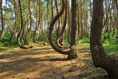 Curved Polish forest. Curved trees in the Polish forest side Royalty Free Stock Photos