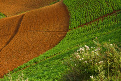 Curved potato fields in summer Royalty Free Stock Photos